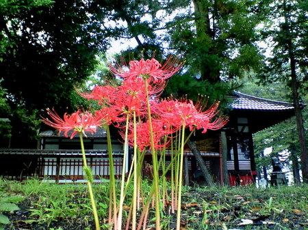 近所の神社にて。おかしいな、昔はたしか、地面一杯に咲いていて、血の海、否、きれいな赤い絨毯だったのに。
