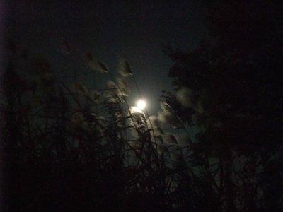 夜風に揺れるすすき。…画像粗すぎますが^^;