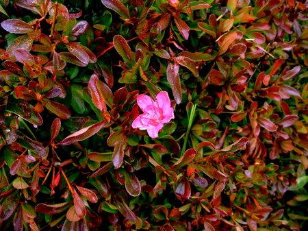 晩秋の冷たい雨の日。庭に一輪だけ咲いたツツジ。