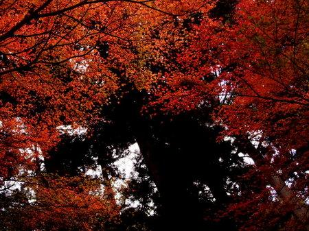 見上げた紅葉から覗く、杉並木。