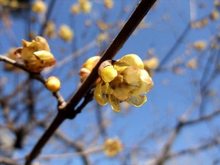 老梅。淑やかな花です。