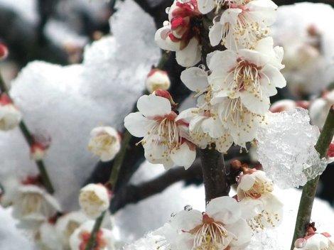 雪どけに濡れる白梅。